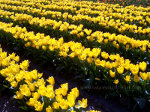 Pretty Yellow Tulips in Skagit Valley