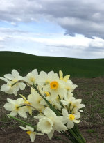 Daffodils on the Palouse