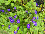 Morning Glories in New England